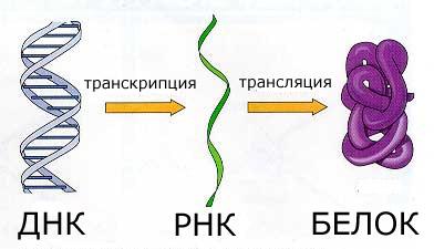 Транскрипция и трансляция днк